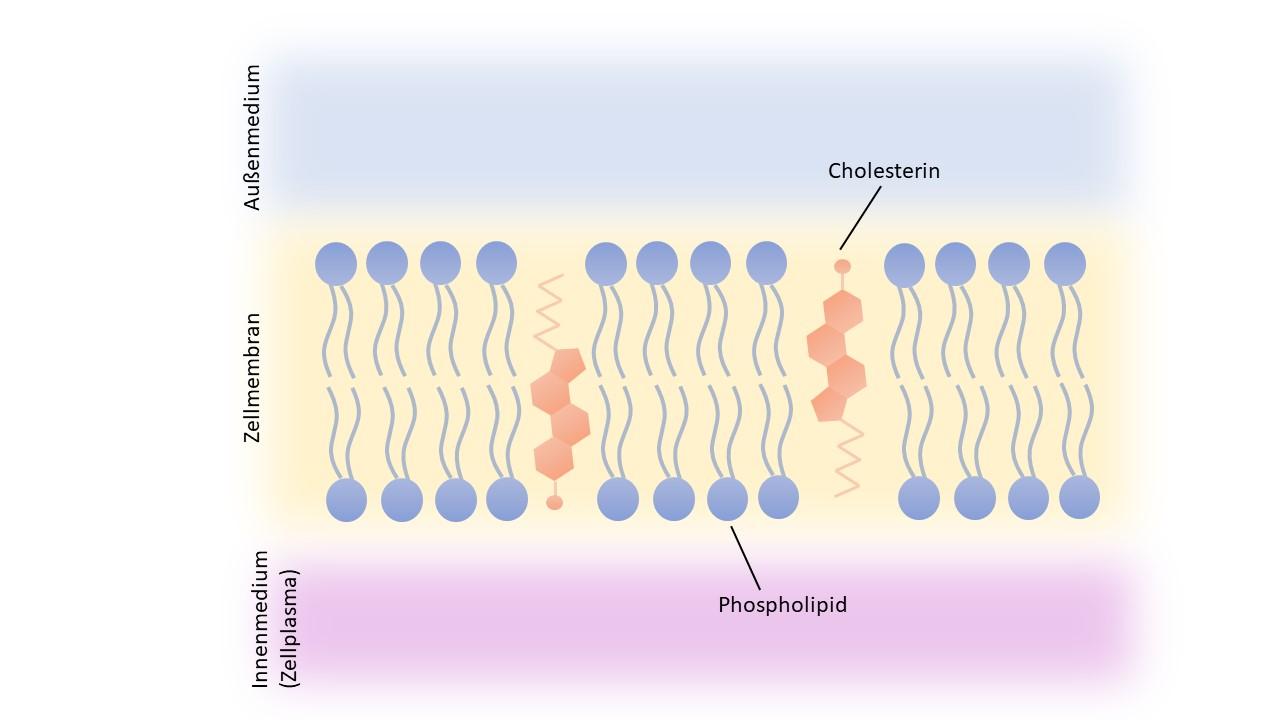 Lipiddoppelschicht