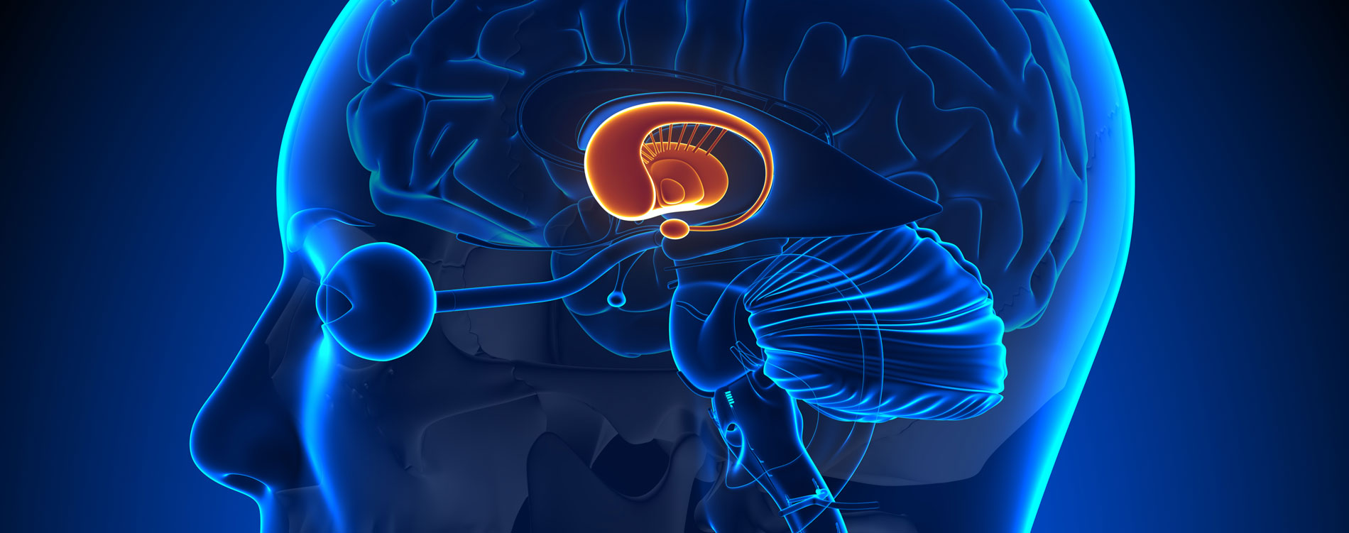 Stammganglien im menschlichen Gehirn